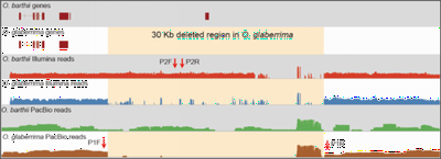 Figure 2. A 37.2-kb deleted fragment containing six protein-coding genes from O. glaberrima chromosome 3